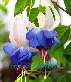 200 pcs/saco Fuchsia graines, Fuchsia fleurs, Lanterne fleur, Begonia graines de fleurs, Bonsai graines de fleurs, Plante pour la maison jardin