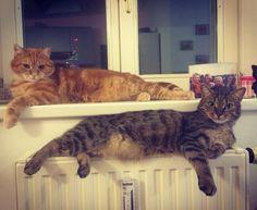 "The ""Ey yo sexy mothafer"" Cat-look #rajah #rajahthecat #oscar #oscarthecat #cat #instacat #pet #instapet #kittycat #crazyaboutcats #metalcats #sexylook #look #haha #fun #myboys #lazy #lazydingdongs #tuesday #vienna #austria #animals by liienchen1"