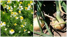 Heřmánek pravý (Matricaria chamomilla) chrání cibuli i řepu Plants, Gardening, Chemistry, Lawn And Garden, Plant, Planets, Horticulture