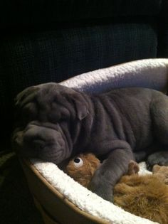 My sharpei puppy:)