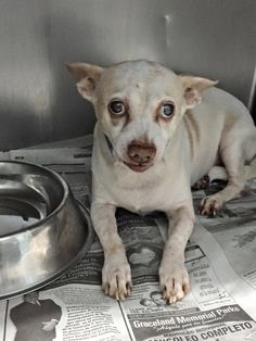 RESCUED --- Blind senior chi in the medical Ward at MDAS. 11 yo #A0807198 Napoleon. Does not trust readily, will need a special patient adopter/rescue — Miami Dade County Animal Services. https://www.facebook.com/urgentdogsofmiami/photos/pb.191859757515102.-2207520000.1428082728./955416557826081/?type=3&theater