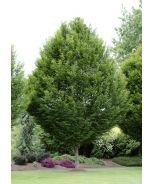 Pyramidal European Hornbeam (Carpinus betulus 'Fastigiata') - Monrovia - Pyramidal European Hornbeam (Carpinus betulus 'Fastigiata')