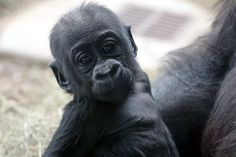4 months and cuter than ever! Be sure to visit the Scoop on our website for a new schedule  for our gorilla family group!