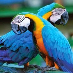 Blue & Gold Macaw Parrots - so beautiful ~ Tropical Birds, Exotic Birds, Colorful Birds, Parrot Pet, Parrot Bird, Pretty Birds, Beautiful Birds, Blue Gold Macaw, Puppies