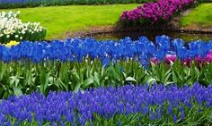 Groupon - Blue Flower Bulb Garden Collection (40-Pack). Groupon deal price: $14.99