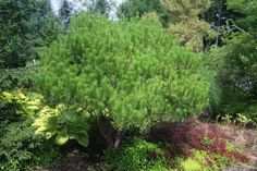 Pinus densiflora Tanyosho:  Very attractive evergreen displays shrub-like multi-trunked form with flat-topped umbrella-like head. Red brown bark, dense, compact form and bright green needles are other features.