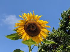 Blue Skies, green trees and a big sunflower standing watch over the vegetable garden. Pretty much sums up this summer's day. Mammoth Sunflower, Summer Sky, Blue Skies, Green Trees, Vegetable Garden, Acre, Dandelion, Home And Garden, Organic