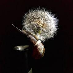Marjolein Lensink-Neijzing Rembrandt, Dandelion, Flowers, Plants, Kunst, Dandelions, Plant, Taraxacum Officinale, Royal Icing Flowers