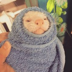 FERRET CARE guide tips and advice will help you make the right choices when it comes to caring for your pet ferret Ferrets Care, Baby Ferrets, Funny Ferrets, Pet Ferret, Otters Cute, Cute Rats, Animals And Pets, Funny Animals, Barn Animals