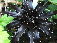 65 Popular Black Plants and Flowers to Add Drama and Make Awesome Black Garden - Page 15 of 67 Unusual Plants, Rare Plants, Exotic Plants, Cool Plants, Cacti And Succulents, Planting Succulents, Planting Flowers, Flowers Garden, Dark Flowers