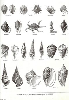 1923 Coquillages Larousse Encyclopedia original illustrated plate Molluscs framing scrapbooking marine decor 23 drawings from the sofrenchvintage shop on Etsy Seashell Tattoos, Ocean Tattoos, Turtle Tattoos, Tribal Tattoos, Tatoos, Shell Drawing, Illustration Mode, Desenho Tattoo, Fish Print