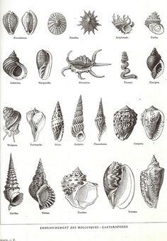 1923 Coquillages Encyclopédie Larousse planche illustrée originale Mollusques  encadrement scrapbooking décor marin 23 dessins