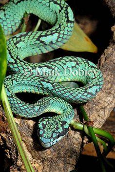 Trimeresurus trigonocephalus; Ceylon Palm Viper #snakes #reptiles #topanimals