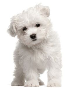 Maltese :) --- this site has dog breeds listed on it