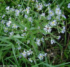 Symphyotrichum puniceum (Aster puniceus):  Swamp Aster; MI  Good for butterflies