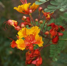 Pride of Barbados Caesalpinia pulcherrima Common Names: Dwarf Poinciana, Peacock Flower Light: Full Sun Height: 4′ – 7′ Spacing/Spread: 4′ – 7′ Evergreen: No, pl…