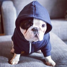 Tough lil guy cute animals dogs adorable face sweater tough couch hoodie