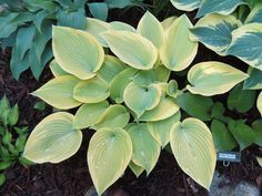 Hosta Apple Candy Plants, Shrubs, Flowers, Leaves, Plant Leaves, Hosta Varieties, Moss, Tree