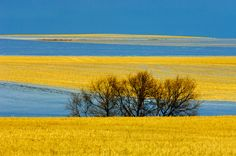 Beautiful canola fields can be seen around the province in late summer. What A Wonderful World, Beautiful World, Beautiful Places, Oh The Places You'll Go, Places To Visit, Canadian Prairies, Saskatchewan Canada, Canada Eh, Le Far West