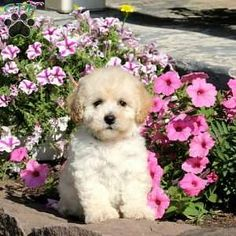 Bich-poo Puppy in New Holland, PA Free Crochet Rose Pattern, Greenfield Puppies, Bichon Frise, Puppies For Sale, Poodle, Holland, Dogs, Animals, The Nederlands