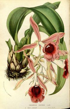 """Trichopilia coccinea, Lindl. -- """"Flore des serres et des jardins de l'Europe"""", v.14 (1861), by Louis van Houtte"""