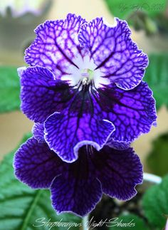 Streptocarpus Night Shades - I'd love to know who the hybridiser may be. Plants or leaves may be available.