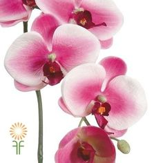 White and Fuchsia Phalaenopsis Orchids | Wholesale Flowers & DIY Wedding Flowers Phalaenopsis Orchid, Orchids, Orchid Flowers, Diy Wedding Flowers, Colorful Flowers, Floral Arrangements, Floral Design, Bloom, Tattoo Thigh