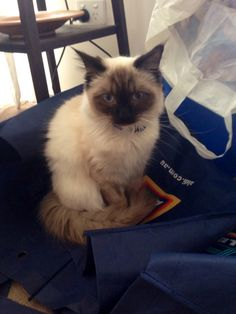Claiming the shopping bags - Jazz the rag doll