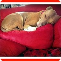 Pictures of Miley a American Staffordshire Terrier for adoption in Mt. Clemens, MI who needs a loving home.