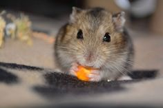 Happy MEAL :) #cute #rodent #rongeur #animal #pets #animaux discover other photos on Yummypets.com