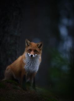 Red Fox by Kai Fagerström Woods Photography, Red Fox, House In The Woods, Wolves, Animal Kingdom, Finland, Mammals, Creatures, Pets