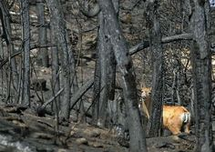 A mule deer walks through the burn area of the High Park wildfire along the Rist Canyon Road west of Bellvue Thursday July 5, 2012. The deer found drinking water in a nearby pond before crossing the road and walking up a charred hillside. The pond was in an area that was not impacted by the fire.
