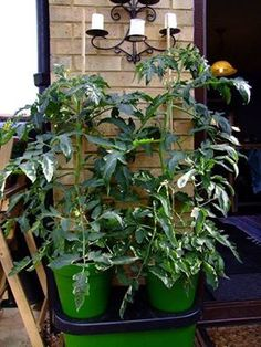 """Duogrow Success: """"I've been itching to try it out this season, and bloomin 'eck they are good!"""" Lovely words from Liz Ninja Wanden, who has been eagerly waiting to try out her gorgeous Duogrow Planter. Just look at her impressive results so far! http://www.greenhousesensation.co.uk/duogrow-planter1.html"""