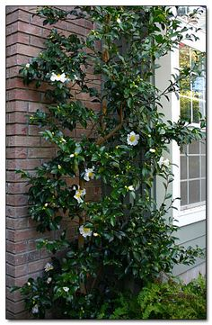 Camellia 'Setsugekka'--this variety of Camellia is particularly known for being suitable for pruning as a tall, narrow shrub against a building--per the second photo on the following website. It also flowers in the fall instead of spring