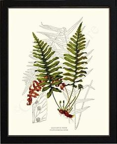 vintage fern botanical art print liquorice framed botanicalart vintageart fernart fernprint