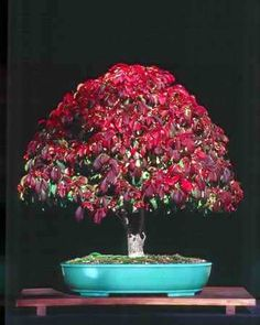 Euonymous... Incredible Perfection!!  Bonsai Art is Infinite...