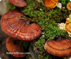 """STUDIES SHOW REISHI MUSHROOMS FIGHT CANCER & DIABETES. Long-term consumption of reishi mushrooms--which are characterized by their red, kidney-shaped cap and their tough, """"woody"""" texture--has been linked to reduced blood pressure, improved nerve function, enhanced stamina, weight loss and much more."""
