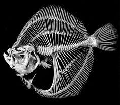 flatfish_turbotSkeleton Skeleton Drawings, Fish Skeleton, Sugar Skull Costume, Sugar Skull Art, Animal Skeletons, Animal Skulls, Crane, Deep Sea Creatures, Creepy Pictures