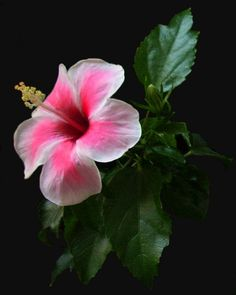 208 best flowers of hawaii images on pinterest beautiful flowers natures garden the white and pink hibiscus by astroviolet mightylinksfo