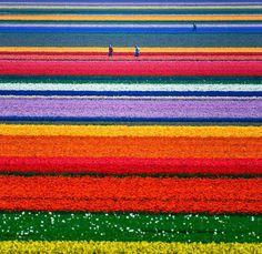 Tulips field - Holland