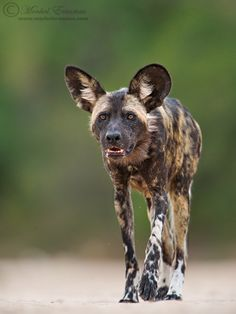 The Approach by MorkelErasmus.deviantart.com on @DeviantArt - A totally wild African Wild Dog in Mana Pools National Park, Zimbabwe (critically endangered animals)...