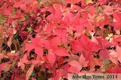 Parthenocissus quinquefolia, or Virginia Creeper, is a very vigorous deciduous climber with lovely 5 lobed leaflets of a luxuriant green that turn glorious shades of red and orange early in the autumn.