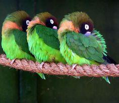 Sleeping Lovebirds