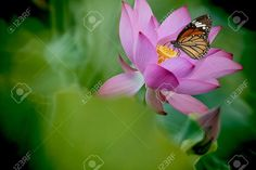 Butterfly On Flower (Lotus) Stock Photo, Picture And Royalty Free ...