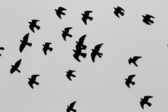 birds, animals, flight, flying, migrating, black