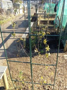 Passion fruits planted