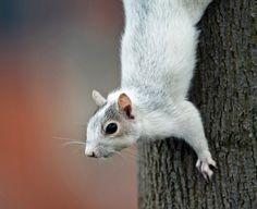Leucistic SquirrelbyDave Grubb
