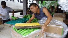 La emergencia bananera decretada por el Gobierno el pasado 13 de julio comenzó con el corte y la acopilación de racimos en algunos centros de acopio ubicados estratégicamente en el agro por el Ministerio de Agricultura, Ganadería, Acuacultura y Pesca (Magap).