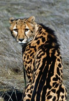 208 Best King Cheetah Images Big Cats Pretty Cats Tigers
