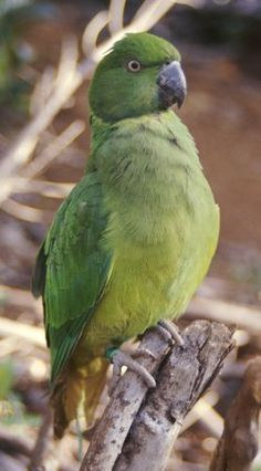 Mauritius Parakeet - An Endangered Species